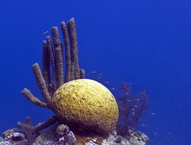 Brain Coral, Great Blue Hole